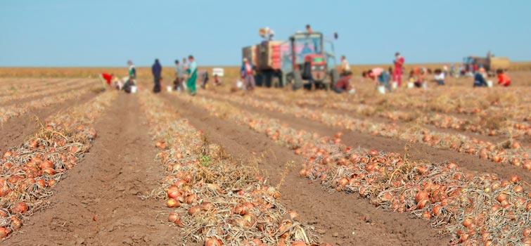 Farmers harvesting onion