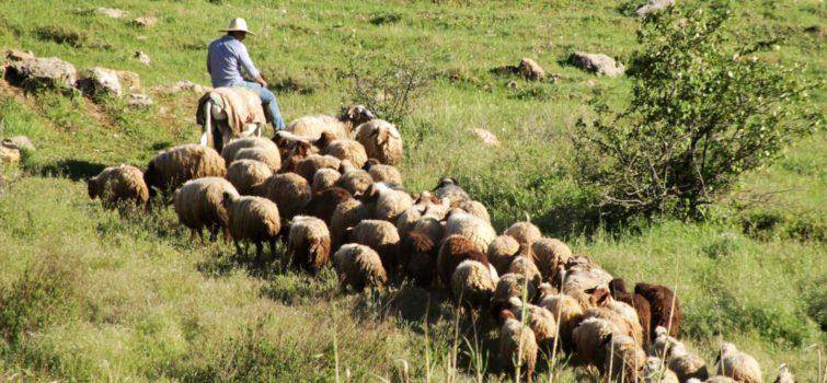 sheep-herder